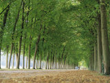 Avenue of Poplar Trees  Parc De Marly  Western Outskirts of Paris  France  Europe