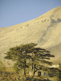 Cedars of Lebanon at the Foot of Mount Djebel Makhmal Near Bsharre  Lebanon  Middle East