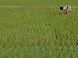 Share-Cropper Tending Rice in Paddyfield  Parganas District  West Bengal State  India  Asia
