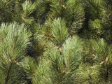 Close up of Scots Pine Leaves or Needles  Pinus Sylvestris