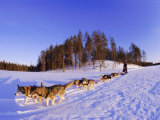 Driving a Dogsled with a Team of 8 Siberian Huskies  Karelia  Finland  Europe