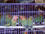 Caged Birds  Yuen Po Street Bird Garden  Mong Kok  Kowloon  Hong Kong  China  Asia