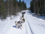 Driving Siberian Huskies  Karelia  Finland  Scandinavia  Europe