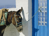 Donkey  Thira  Santorini  Cyclades Islands  Greece  Europe