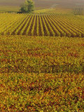 Vineyards in Autumn  Champagne  France  Europe