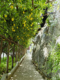 Lemon Groves  Amalfi Coast  Campania  Italy  Europe