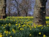 Daffodils Flowering in Spring in Hyde Park  London