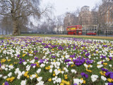 Crocus Flowering in Spring in Hyde Park  Bus on Park Lane in the Background  London  England  UK