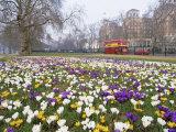 Crocus Flowering in Spring in Hyde Park  Bus on Park Lane in the Background  London  England  UK