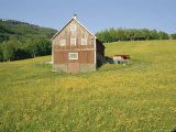 Barn in Rape Field in Summer  Lofoten  Nordland  Arctic Norway  Scandinavia  Europe