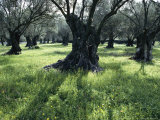 Groves of Olive Trees  Island of Naxos  Cyclades  Greece  Europe