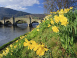 Daffodils by the River Tay and Wade's Bridge  Aberfeldy  Perthshire  Scotland  UK  Europe