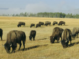 Bison Grazing in Yellowstone National Park  Wyoming  USA