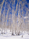 Aspen Trees During Winter  Dixie National Forest  Utah  USA