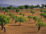 Landscape with Olive Trees  Majorca (Mallorca)  Balearic Islands  Spain  Europe