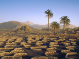 Palm Trees and Cultivation in Volcanic Soil  Lanzarote  Canary Islands  Spain