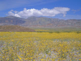Desert Gold (Geraea Canescens) Flowers  Death Valley  California  USA