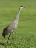 A Sandhill Crane  South Florida  USA