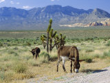 Wild Mules, the Spring Mountains, Nevada, USA Papier Photo par Fraser Hall