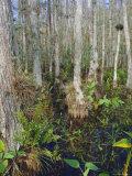 Bald Cypress Swamp in the Corkscrew Swamp Sanctuary Near Naples  Florida  USA