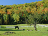 Horse Grazing in Paddock  Near Jackson  New Hampshire  USA