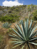 Agave Cactus for Making Mezcal  Oaxaca  Mexico  North America