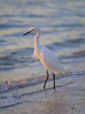 Snowy Egret  Sanibel  Florida  USA
