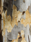 Eucalyptus Tree Bark  Greece  Europe
