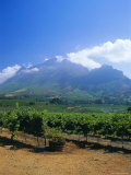 Vineyards in the Cape Winelands  Near Stellenbosch  Cape Province  South Africa  Africa