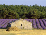 Stone Building in Lavender Field  Plateau De Sault  Haute Provence  Provence  France  Europe