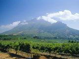 Vineyard  Stellenbosch  Cape Winelands  South Africa