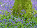 Moss Covered Base of a Tree and Bluebells in Flower  Bluebell Wood  Hampshire  England  UK