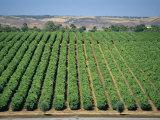 Vine Rows  Mclaren Vale-Maxwell Wines  Australia