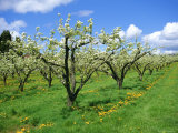 Blossom on Pear Trees in Orchard  Holt Fleet  Worcestershire  England  UK  Europe