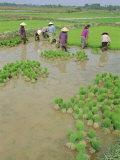 Rice Paddies  Vientiane  Laos  Asia