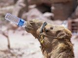 Camel Drinking  Jordan  Petra