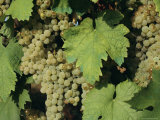 White Grapes on Vine  Italy  Europe