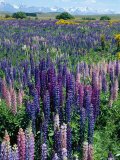 Wild Lupins  Mt Cook National Park  New Zealand