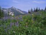 Flower Meadow  Mount Revelstoke National Park  Rocky Mountains  British Columbia (BC)  Canada