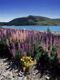 Wild Lupin Flowers (Lupinus) Beside Lake Tekapo  South Island  New Zealand