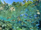 Crowd of Tropical Reef Fish Including Scissortail Sergeants and Grunts  Solomon Islands