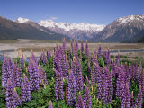 Wild Lupin Flowers (Lupinus) with Birdwood Mountains Behind  South Island  New Zealand