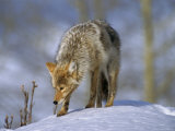 Coyote (Canis Latrans)  Weighing 30-40 Lbs  Less Than Half the Weight of a Wolf  Wyoming  USA
