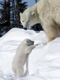 Polar Bear with a Cub  (Ursus Maritimus)  Churchill  Manitoba  Canada