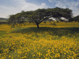 Acacia Tree and Yellow Meskel Flowers in Bloom after the Rains  Green Fertile Fields  Ethiopia