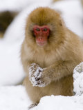 Young Japanese Macaque  in the Snow  Joshin-Etsu National Park  Honshu  Japan
