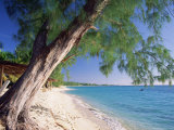Leaning Tree Above Calm Turquoise Sea  Seven Mile Beach  Grand Cayman  Cayman Islands  West Indies