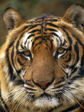Portrait of an Indo Chinese Tiger  Tiger Sanctuary  Khao Pardap Chan  Thailand