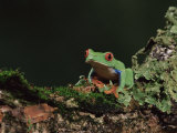 Red Eye Treefrog (Agalychnis Callidryas)  in Captivity  from Central America