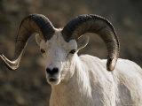 Male Dall Sheep (Ovis Dalli)  Denali National Park  Alaska  United States of America  North America